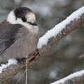 Gray jay. Photo courtesy Harold Stiver.- Winter is for the Birds