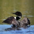 A common loon displaying in the Boundary Waters Canoe Area Wilderness. - Mining Endangers Minnesota's Boundary Waters