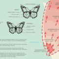 The multi-generation migration of the monarch.- Majestic Migrations: The Monarch Butterfly