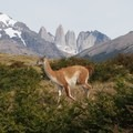 Guanaco in Torres del Paine.- 25 Photos That Will Make You Want to Adventure in Patagonia