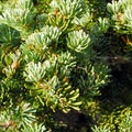 Subalpine fir (Abies lasiocarpa).- 25 of the West's Most Iconic Trees