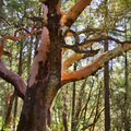 Pacific madrone (Arbutus menziesii).- 25 of the West's Most Iconic Trees