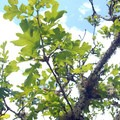 Oregon white oak (Quercus garryana).- 25 of the West's Most Iconic Trees