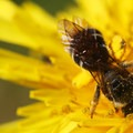 Sweat bee on a dandelion (Taraxacum officinale). Photo courtesy of Peter Pearsall/U.S. Fish and Wildlife Service.- Pollinators of the Oregon Coast