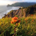 Indian paintbrush (Castilleja sp.). Photo courtesy of Peter Pearsall/U.S. Fish and Wildlife Service. - Pollinators of the Oregon Coast