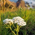 Yarrow (Achillea millefolium). Photo courtesy of Peter Pearsall/U.S. Fish and Wildlife Service. - Pollinators of the Oregon Coast