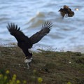 A bald eagle with a common murre, crow in pursuit. Photo courtesy of Peter Pearsall/USFWS.- Common Murre + Bald Eagle Interaction on the Oregon Coast