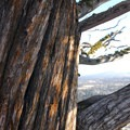 Western juniper (Juniperus occidentalis).- 25 of the West's Most Iconic Trees
