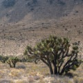 Joshua tree (Yucca brevifolia).- 25 of the West's Most Iconic Trees