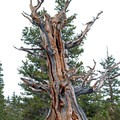 Bristlecone pine (Pinus longaeva).- 25 of the West's Most Iconic Trees
