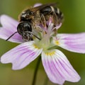 Sweat bee (Halictus sp.) on candyflower (Claytonia sibirica). Photo courtesy of Peter Pearsall/USFWS.- Pollinators of the Oregon Coast
