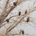 Bald eagles. Photo courtesy of Neil Paprocki.- Winter is for the Birds