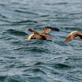 Tufted puffin in flight. Photo courtesy of Peter Davis, U.S. Fish and Wildlife Service.- The Tufted Puffin – Oregon Coast's Most Iconic Species