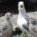 Western gull and baby chicks. Photo courtesy of Nikki Roach/USFWS. - Seabirds of the Oregon Coast