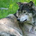 OR14 was captured and GPS-collared by ODFW in the Weston Mountain area north of the Umatilla River. Photo courtesy of ODFW.- An Inflection Point For Oregon's Wolf Recovery