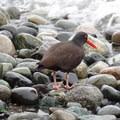 Black oystercatcher. Photo courtesy of Dan Magneson/USFWS.- Seabirds of the Oregon Coast