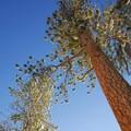 Ponderosa pine (Pinus ponderosa).- Paulina Creek + Falls Loop Trail