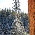 View over the Paulina Creek gorge with a giant ponderosa pine (Pinus ponderosa).- Paulina Creek + Falls Loop Trail