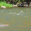 A mother common merganser ushers her clan across the Klickitat.- Klickitat River Campsite