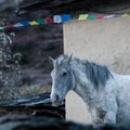 Our white horse coming to take in the view from the monastery.- Nepal Undiscovered, Part 1: Tsum Valley Trek