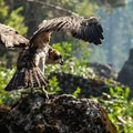Selway-Bitterroot Wilderness: An osprey (Pandion haliaetus) hovers near a productive Selway fishing hole.- National Wilderness Preservation System