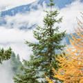 Western larch (Larix occidentalis) on the Falls Creek Falls Hike.- 20 Great Fall Hikes in Oregon