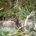 Roosevelt elk are right at home in the Coast Range. This herd was moving on Tillamook Head.- Sights Unseen: 5 Overlooked Hikes on the Northern Oregon Coast