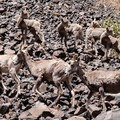 John Day Wild and Scenic River: Bighorn sheep scrambling down to the river for water.- Bureau of Land Management