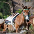 Donkeys that are used for transporting goods up and down the villages ply the route around Mount Manaslu.- Nepal Undiscovered, Part 1: Tsum Valley Trek