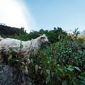 Mountain goats enjoying the foliage.- Nepal Undiscovered, Part 1: Tsum Valley Trek