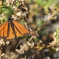 Monarch butterflies make their winter home at Andrew Molera State Park.- 7 Great Reasons to Go Outside in the Fall, Part 2: Migratory Species