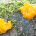 Jelly fungus (Dacrymyces palmatus).- Where to Find Mushrooms in the Pacific Northwest