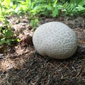 Puffball mushroom (Calbovista subsculpta).- Where to Find Mushrooms in the Pacific Northwest