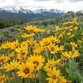 Arrowleaf balsamroot in the proposed addition to the Ptarmigan Peak Wilderness.- Meet Conservation Colorado
