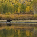 A male moose at Willow Lake.- 5 Ways to Experience Autumn in Utah