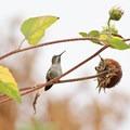 Anna's hummingbird (Calypte anna)- Fall in Oregon Is For the Birds