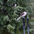 A gray jay en route to the Bechtel Shelter.- It's Cold! Explore These 8 Winter Adventures with Warming Huts