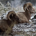 Bighorn sheep among early fall snow. Photo credit: Peggy Olliff.- 5 Reasons to Visit West Yellowstone, Montana this Fall