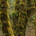 Moss-covered bigleaf maple trees in the Hoh Rain Forest.- Favorite Fall Hikes