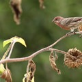 House finch (Haemorhous mexicanus)- Fall in Oregon Is For the Birds