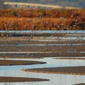 Massive flocks of birds call the mudflats home in San Francisco Bay. (Photo courtesy of Ducks Unlimited.)- Save The Bay: A Partnership for Restoration