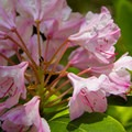 Pacific rhododendron (Rhododendron macrophyllum) on Fish Creek Mountain.- 10-mile Hikes You Can't Miss