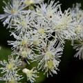 Western white clematis (Clematis ligusticifolia) on the trail to Burnt Lake.- Incredible Hikes for Alpine Wildflowers