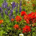 Indian paintbrush (Castilleja) near Burnt Lake.- 10-mile Hikes You Can't Miss