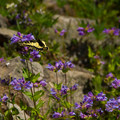 Two-tailed swallowtail butterfly (Papilio multicaudata).- Mount Hood's 15 Best Day Hikes