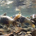 Wild Chinook Salmon (Oncorhynchus tschawutscha) spawning in late summer.- The Pacific Northwest