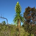 The striking 'iliau plant produces just one tall stalk of flowers before dying.- An Ode to Dr. Seuss