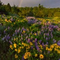 Morning light over balsamroot and lupine on Rowena Crest.- Columbia River Gorge National Scenic Area