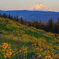 Early morning light on Mount Hood as seen from a full wildflower meadow high above Rowena Crest.- Must-See Views in Our National Scenic Areas