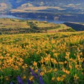 Abundant balsamroot and lupine cover the slope high on Rowena Crest with Mount Adams above.- Tom McCall Point Hike